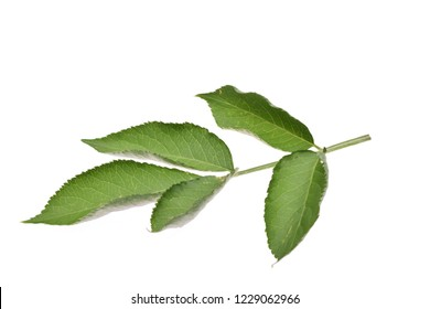 Elderberry, elderflower leaf isolated on white background