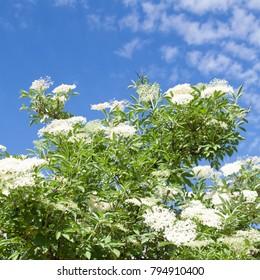Elderberry Flower and blue sky