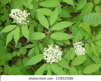 Image Of Elderberry Bush