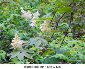 Elderberry Flower Bush Sambucus Tree