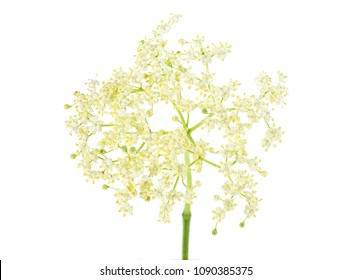 Elderberry flower on a white background. (Black Elder; European Elder; European Elderberry; European Black Elderberry)