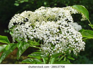 Elderberry flowers in Mississippi