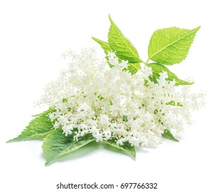 Elderberry flowers on the white background.