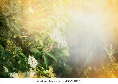 Elderberry flowers , outdoor nature background. Garden or park background with Elderberry blooming