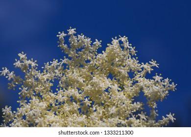 elderberry flowers (sambucus nigra)