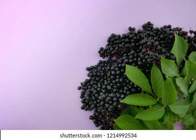 Elderberry. elderberry ( Sambucus ).Elderberry berries bunch on a  lilac background.Fresh fruit black elderberry. Harvest, food.