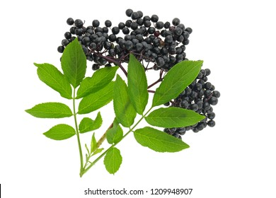Elderberry. elderberry ( Sambucus ) closeup isolated on white background.Fresh fruit black elderberry. Harvest, food.