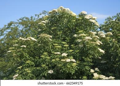 Elderberry (Sambucus nigra). Flowers and buds of the black elder.