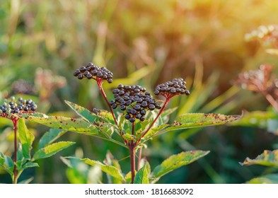 Elderberry. View of a bunch of black wild elderberries over green leaves. Autumn forest, soft focus, medicinal plant
