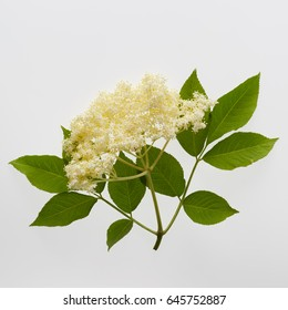 Elderflower blossom flower on white background. Single sprig of elderflower often used to make elderflower cordial.