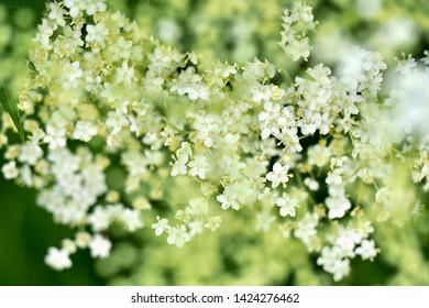 Elderflower close-up with blurred parts
