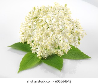 ELDERFLOWER WITH LEAVES