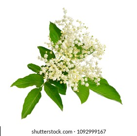 Elderflower and leaves isolated on white backgroun.