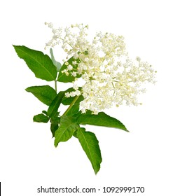 Elderflower and leaves isolated on white backgroun.