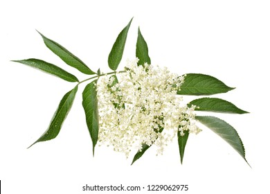 Elderflower and leaves isolated on white background