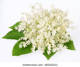 ELDERFLOWER WITH LEAVES ON WHITE