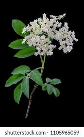 elderflower on dark background - Herbal medicine