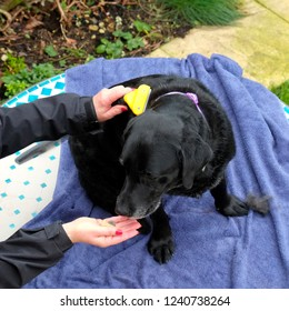 An elderley black labrador bitch outside on a garden table being groomed by her owner after a walk.