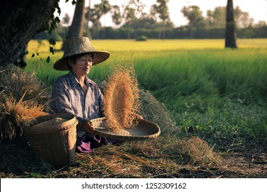 Elderly Asian woman sitting winnowing rice  in the rice paddy countryside at Suphanburi Province in Thailand.