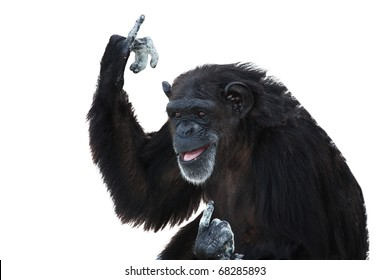 An Elderly Black Chimpanzee Shows the Fingers, Isolated, White