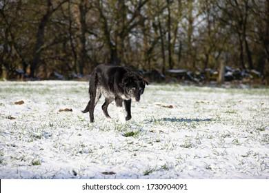Elderly black dog plods across frozen field on its daily walk for exercise.