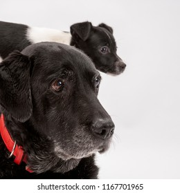 An elderly black labrador bitch and her new 3 month old Jack Russell cross puppy friend watch alertly for instruction while they pose on a white seamless background in the studio