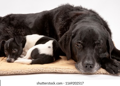 An elderly black labrador bitch and her new 3 month old Jack Chi cross puppy friend settle down for a rest after posing for photos on a white seamless background in the studio