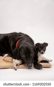 An elderly black labrador bitch and her new 3 month old Jack Chi cross puppy friend wait patiently for instruction while they pose on a white seamless background in the studio