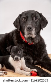 An elderly black labrador bitch and her new 3 month old Jack Chi cross puppy friend watch alertly for instruction while they pose on a white seamless background in the studio