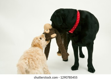 An elderly black labradorwaits patiently while a cute 12 week old Cockapoo puppy bitch tries to take her soft toy away.