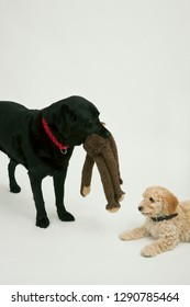 An elderly black labradorwaits patiently while a cute 12 week old Cockapoo puppy tries to take her soft toy away.