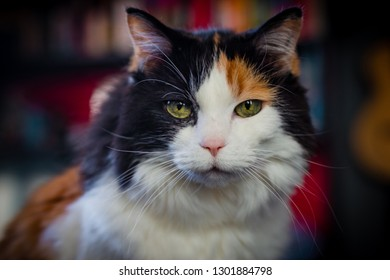 An elderly calico cat poses for one of her last pictures against a blurry background. A look of declining health can be seen in her glazed-over stare.