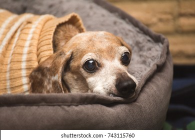 Elderly dachshund/chihuahua mixed-breed dog wearing warm clothes and laying in a soft dog bed with a blank stare.