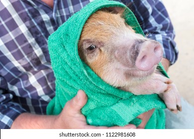 Elderly farmer in hat, plaid shirt, blue jeans, glasses and pink rubber gloves bathes yellow piglet in large sink and wipes it with green towel. Hands close-up. Copy space. 2019 Year of Yellow Swine