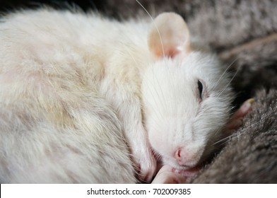Elderly female pet fancy rat sleeping
