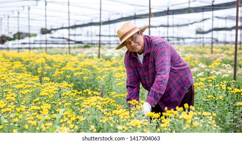 An elderly gardeners smile happy while taking care of the chrysanthemum garden is growing.