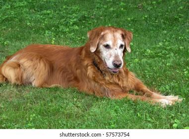 elderly  golden retriever dog