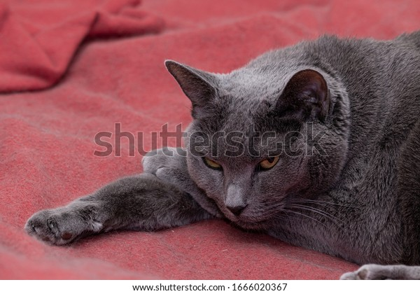 elderly-gray-cat-resting-his-600w-166602