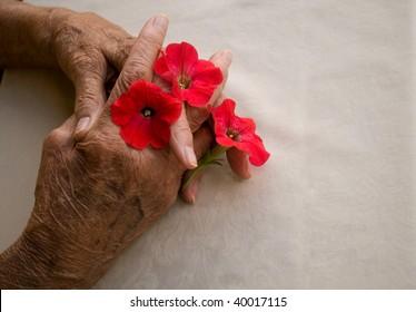 elderly hands folded holding pansy flower over white background
