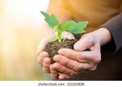 Elderly hands protecting new life in plant shape.