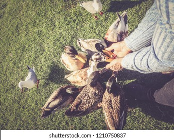 elderly man feeding ducks from his hand
