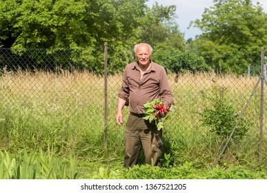 Elderly man with freshly picked radishes in his garden.