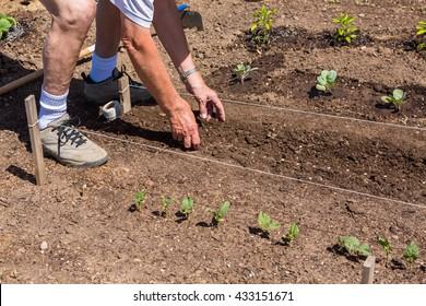 Elderly man planting vegetable garden in early Summer.