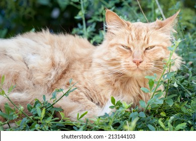 Elderly old ginger tabby cat with ruffled fur and a happy expression lying down and resting in the garden among green leaves