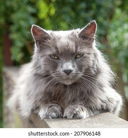 Elderly old long-haired grey cat with yellow eyes and a friendly expression lying on a wooden railing in a garden