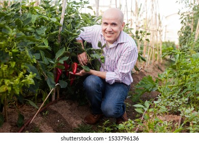 Elderly professional gardener checking harvest of red peppers in hothouse