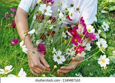 The elderly woman - farmer picks and care of  cosmos garden flowers on summer bed. Sunny July day closeup shot