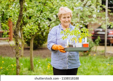 Elderly woman gardening, holding young flower plants in her hands, container-grown plant, woman planting strawberries seedlings in garden
