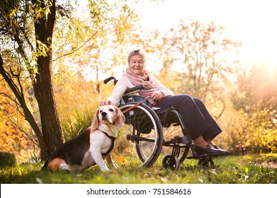 An elderly woman in wheelchair with dog in autumn nature. Senior woman on a walk.