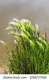 Eldorado Feather Reed Grass (Calamagrostis acutiflora) Eldorado with a poi fish in the background